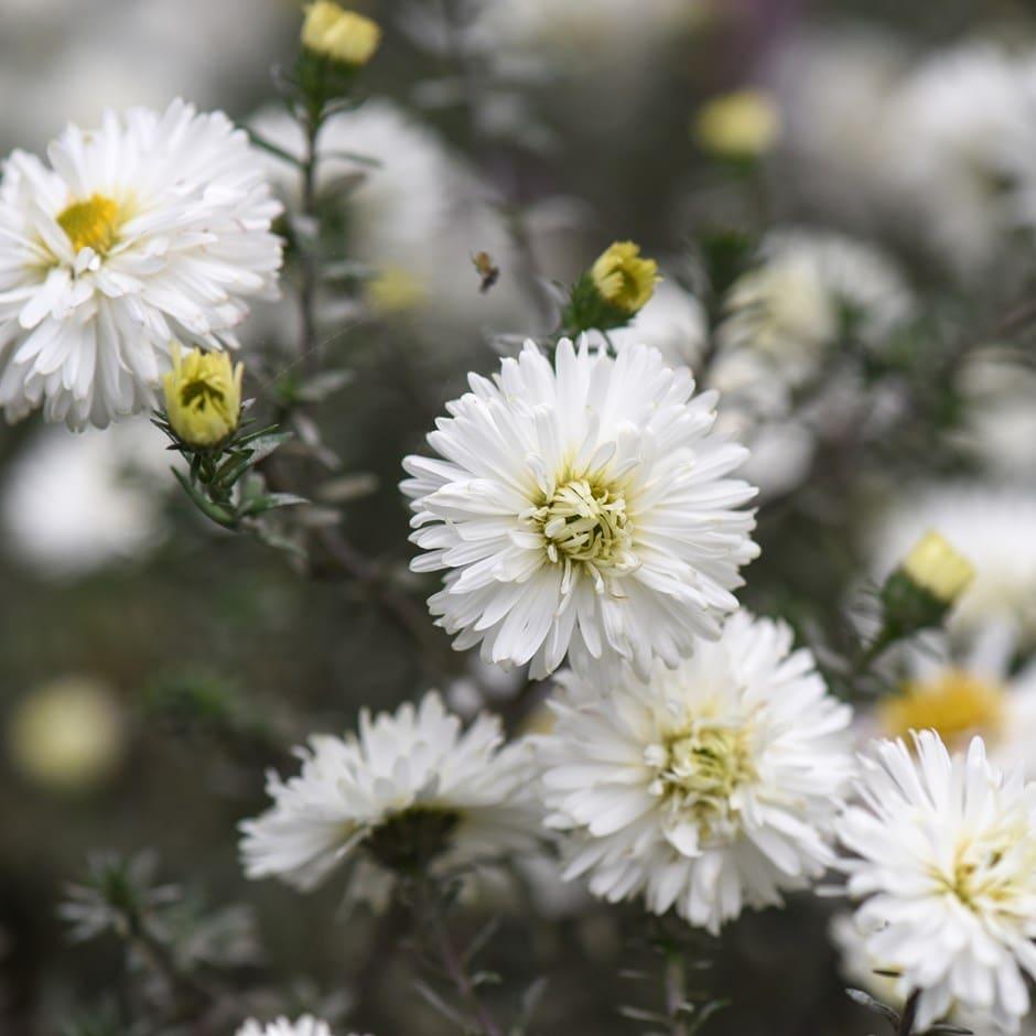 Buy michaelmas daisy syn aster symphyotrichum novi belgii white michaelmas daisy syn aster izmirmasajfo