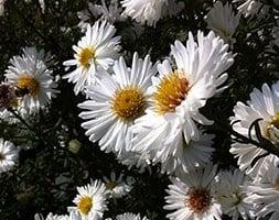 Symphyotrichum novi-belgii White Ladies