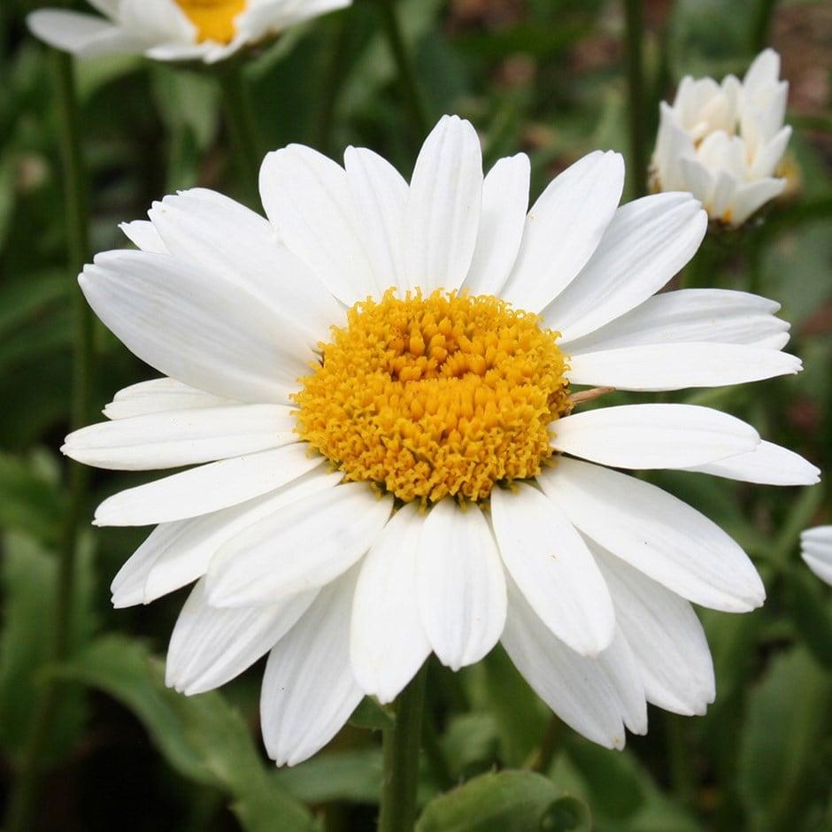 Buy shasta daisy Leucanthemum × superbum Snowcap: £5.99 ...