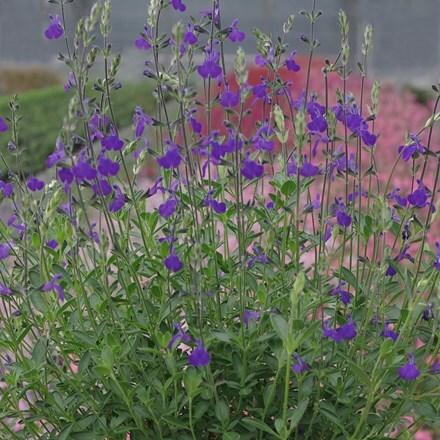 Salvia Blue Note (PBR)