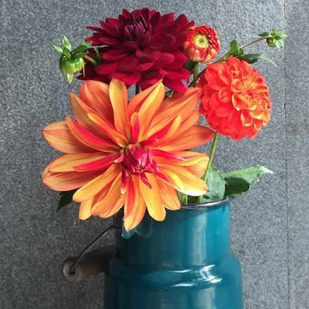 Chocolate orange dahlia collection