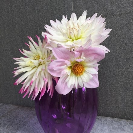 Romantic dahlia collection