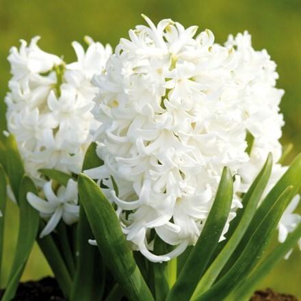 Hyacinthus orientalis White Pearl