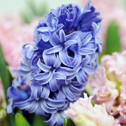 Hyacinthus orientalis Blue Star