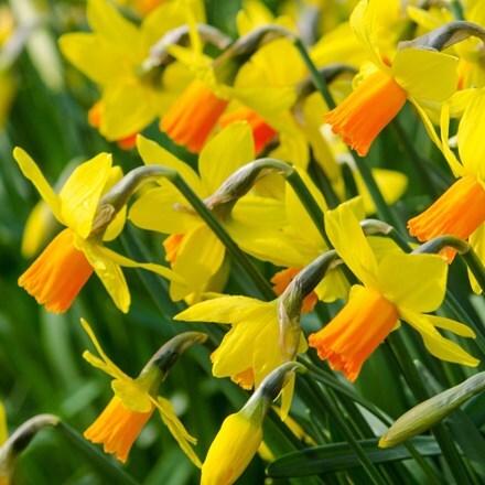 Narcissus Jetfire - Organic bulbs