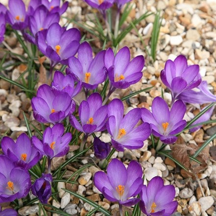 Crocus Ruby Giant - Organic bulbs