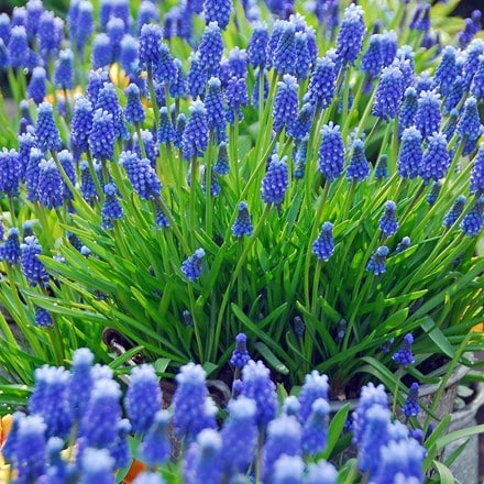 Muscari armeniacum  - Organic bulbs