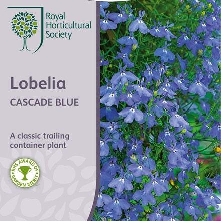 Lobelia erinus Cascade Series
