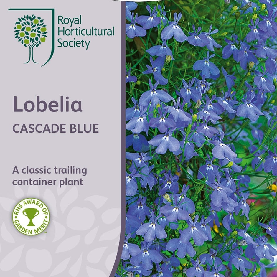 Buy Lobelia Syn Cascade Blue Lobelia Erinus Cascade Series