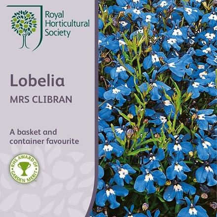 Lobelia erinus Mrs Clibran