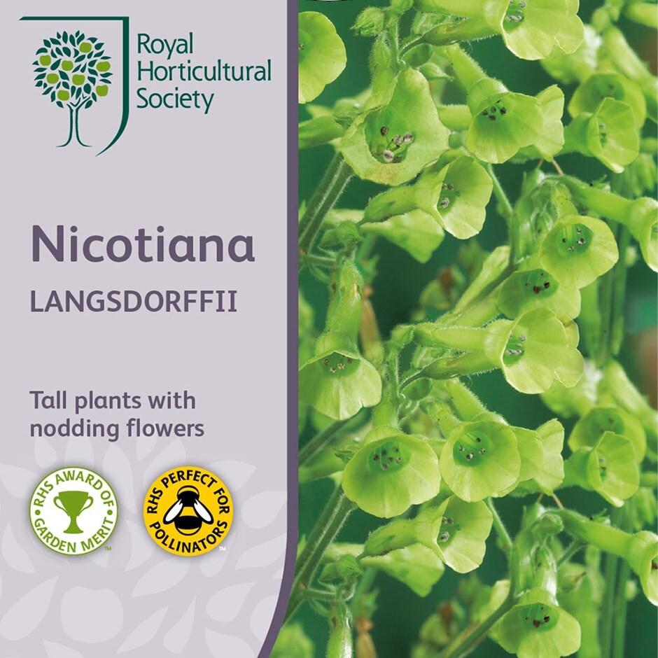 tobacco plant 'langsdorffii'