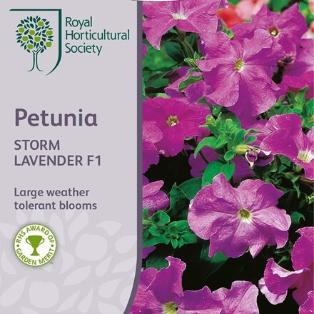 Petunia × atkinsiana Storm Lavender