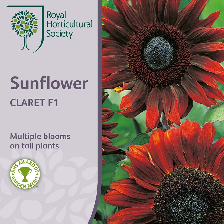 sunflower 'Claret' F1