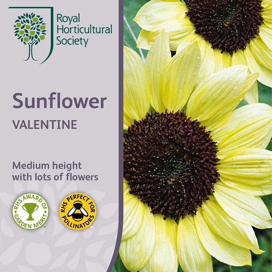 sunflower 'Valentine'