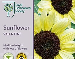 sunflower 'Valentine'