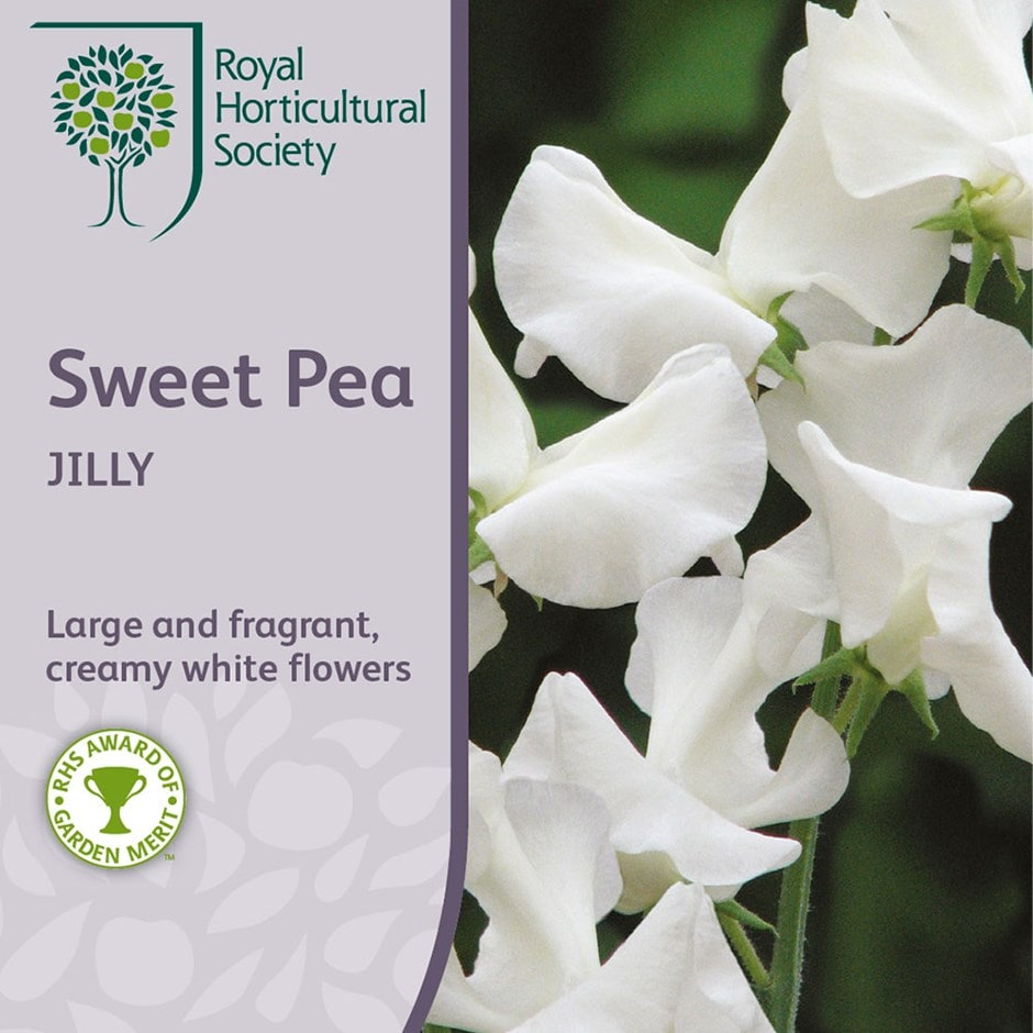 Buy Sweet Pea Jilly Lathyrus Odoratus Jilly 25 Delivery By Crocus
