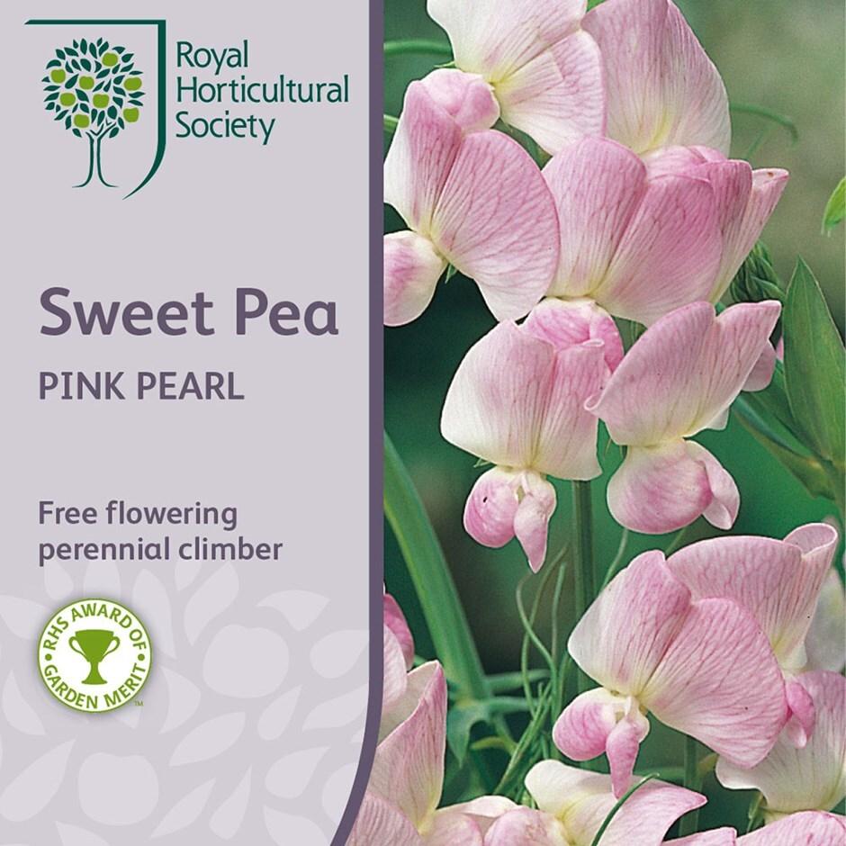 everlasting sweet pea (syn. Pink Pearl)