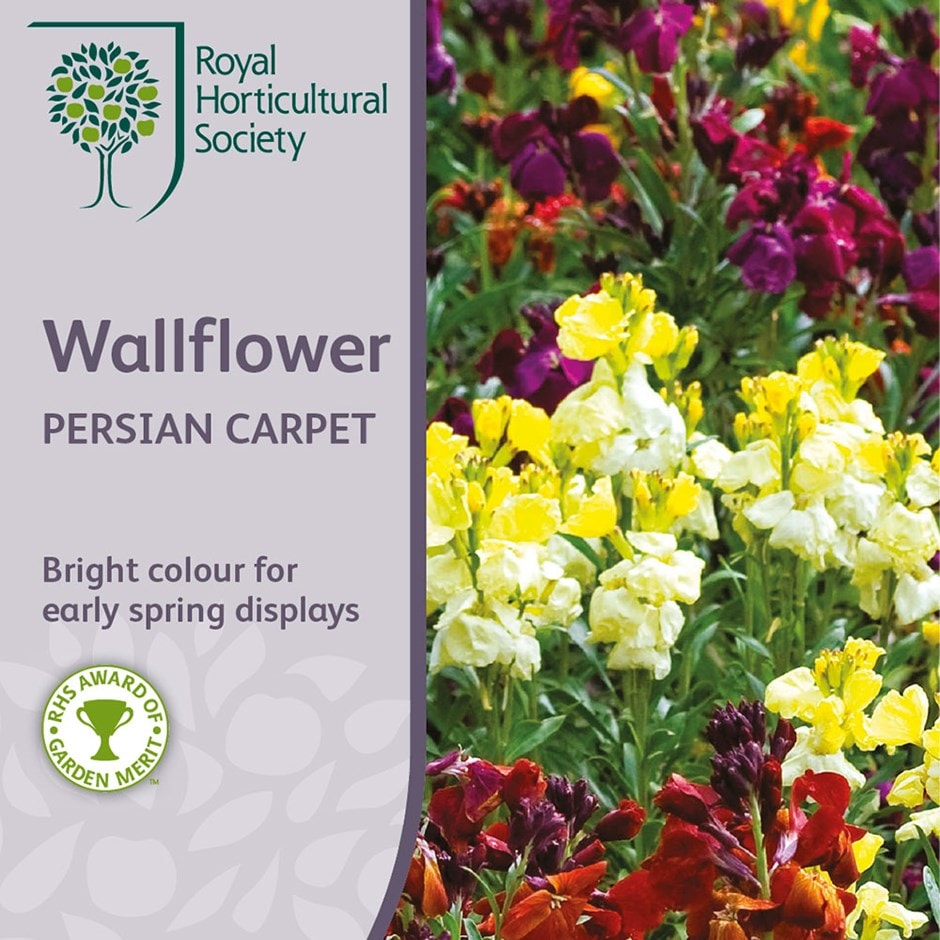 wallflower 'Persian Carpet'
