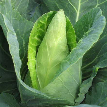 cabbage Caraflex
