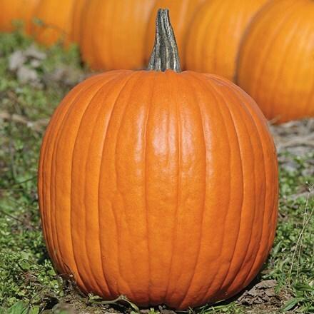pumpkin Expert