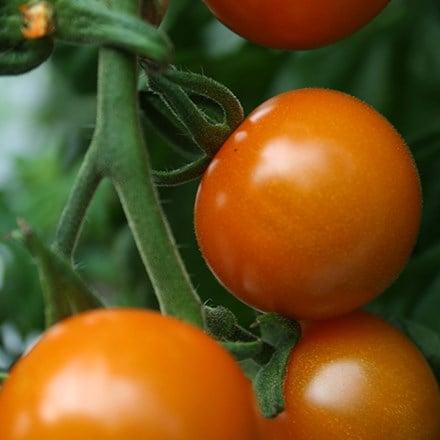 tomato Sungold