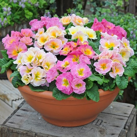 Primrose F1 Sweetheart Mixed