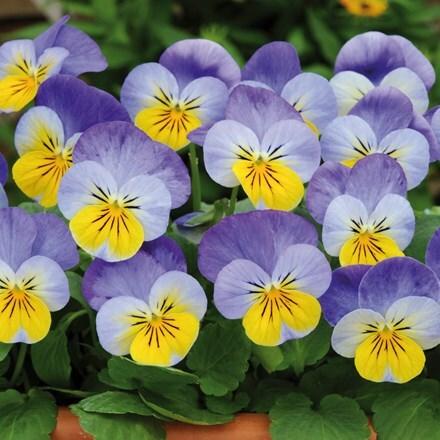 Viola Sorbet Yellow Frost (Sorbet Series)