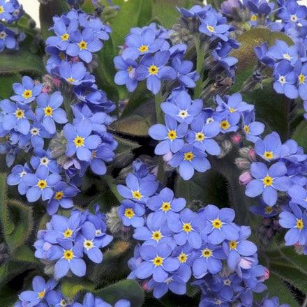 Myosotis Sylvia Blue