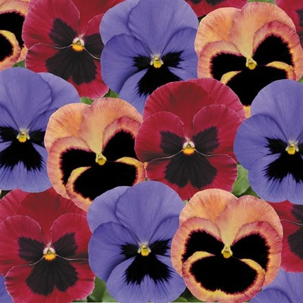 Pansy Coastal Sunrise Mixed