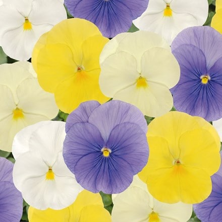 Pansy Matrix Pastel mix