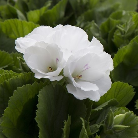 Pelargonium Don Palido (PBR)