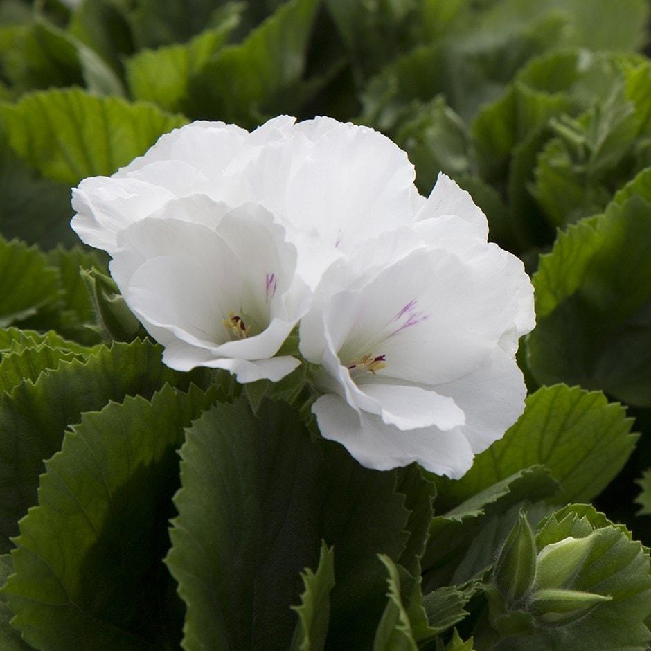 Buy Regal Pelargonium Pelargonium Don Palido Pbr 163 9 99
