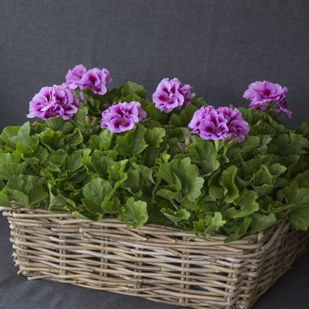 Pelargonium Don Mila (PBR)