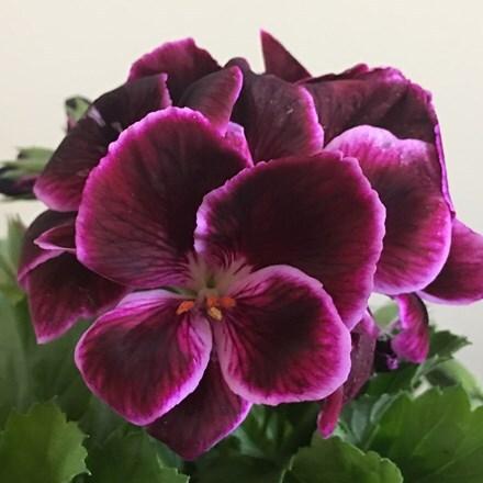 Pelargonium Don Valentino (PBR)