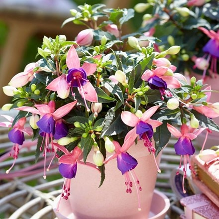 Fuchsia Mariska ('Bf01') (Bella Series) (PBR)
