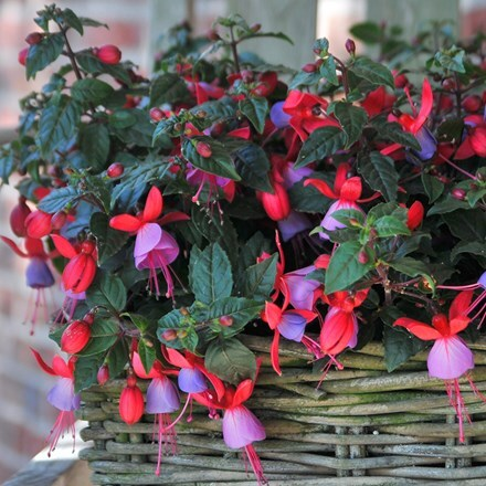 Fuchsia Sarah (Bella Series) (PBR)
