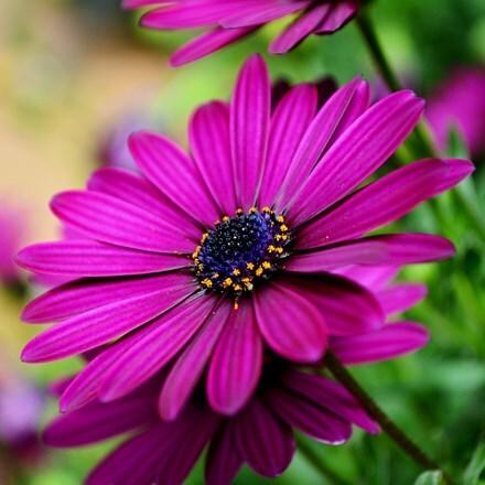 Osteospermum Sunny Mary (PBR) (Sunny Series)