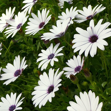 Osteospermum Flowerpower Ice White ('KLEO06123') (Flowerpower Series)
