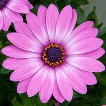Osteospermum Lavender Pink ('14') (Flowerpower series) (PBR)