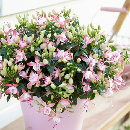 Fuchsia Sophia (Bella Series) (PBR)