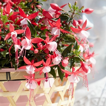 Fuchsia Evita (Bella Series) (PBR)