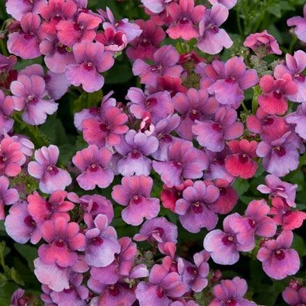 Nemesia Framboise ('Fleurfram') (PBR)