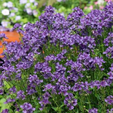 Nemesia Myrtille ('Fleurmyr') (PBR)