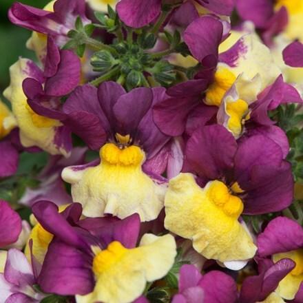 Nemesia Aroma Rhubarb & Custard (Aroma Series)