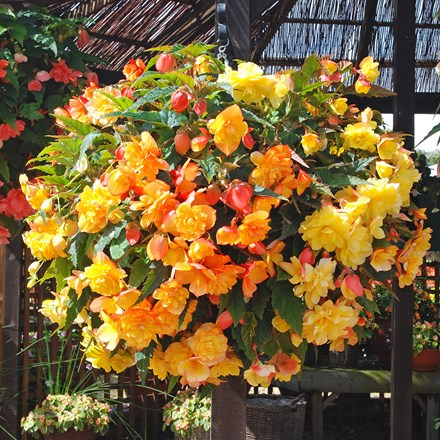 Begonia Super Cascade Apricot Shades mix
