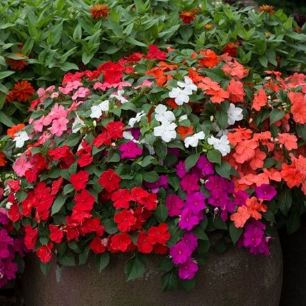 Impatiens Beacon Mixed