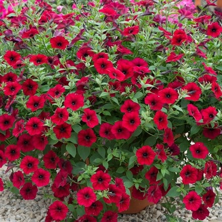 Petunia Tidal Wave Red Velour ('Pas1085269') (Tidal Wave Series)
