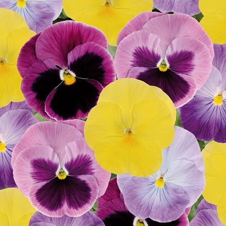 Pansy Matrix Silhouette Mixed