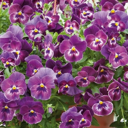 Pansy Cool Wave Raspberry