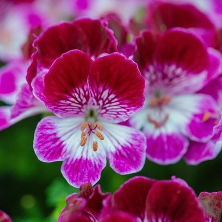 Pelargonium Tip Top Duet